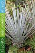 Yucca rigida – Palma azul