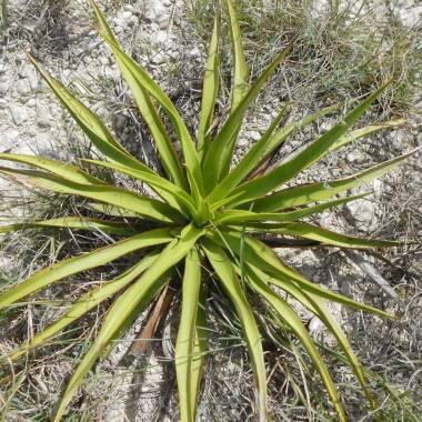 Yucca rupicola – Rock Yucca