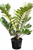 Zamia furfuracea – Cardboard Palm