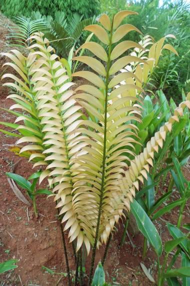 lutea Cycas clivicola subsp 5 fresh rare cycad seeds