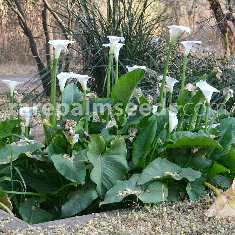 Aroid Arum Lily Zantedeschia Aethiopica 10 Seeds
