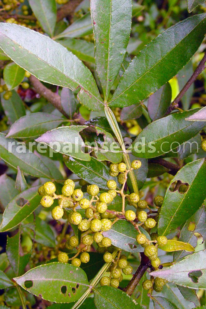 10 graines//seeds Zanthoxylum ailanthoides