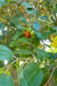 Ziziphus mauritiana – Indian Plum